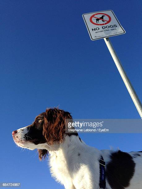 Low Angle View Of Dog Standing By Warning Sign Against Clear Blue Sky