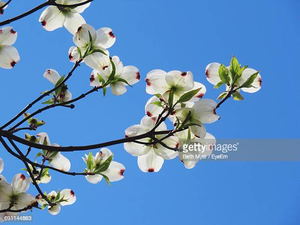 Low Angle View Of Dogwood Blossoms Against Clear Blue Sky