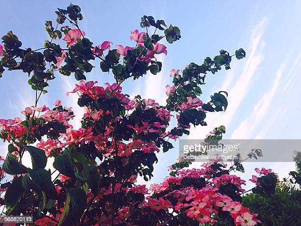 low angle view of dogwood flowers against cloudy sky - dogwood blossom stock pictures, royalty-free photos & images