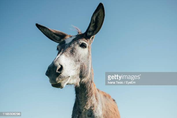 low angle view of donkey standing against blue sky - donkey stock pictures, royalty-free photos & images