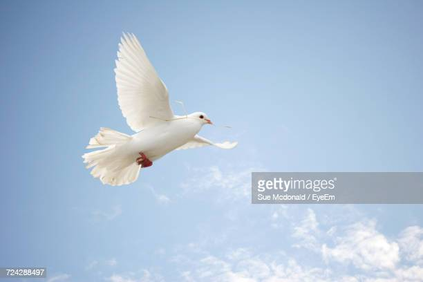 Low Angle View Of Dove Flying Against Clear Sky