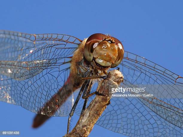 Low Angle View Of Dragonfly On Twig Against Clear Blue Sky