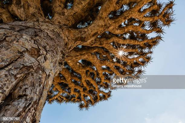 Low angle view of dragon's blood tree