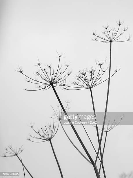 Low Angle View Of Dry Cow Parsnip Against Sky