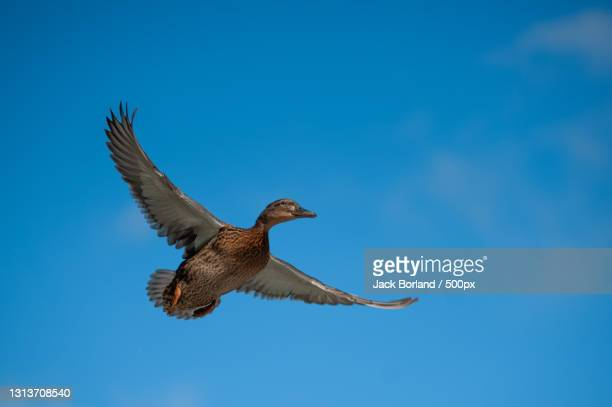 low angle view of duck flying against clear blue sky,ninesprings nature park,united kingdom,uk - flying stock pictures, royalty-free photos & images