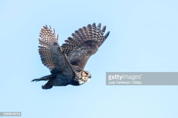 low angle view of eagle flying against clear blue sky,london,ontario,canada - great horned owl stock pictures, royalty-free photos & images