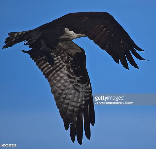 low angle view of eagle flying against clear blue sky - jo wilder stock-fotos und bilder