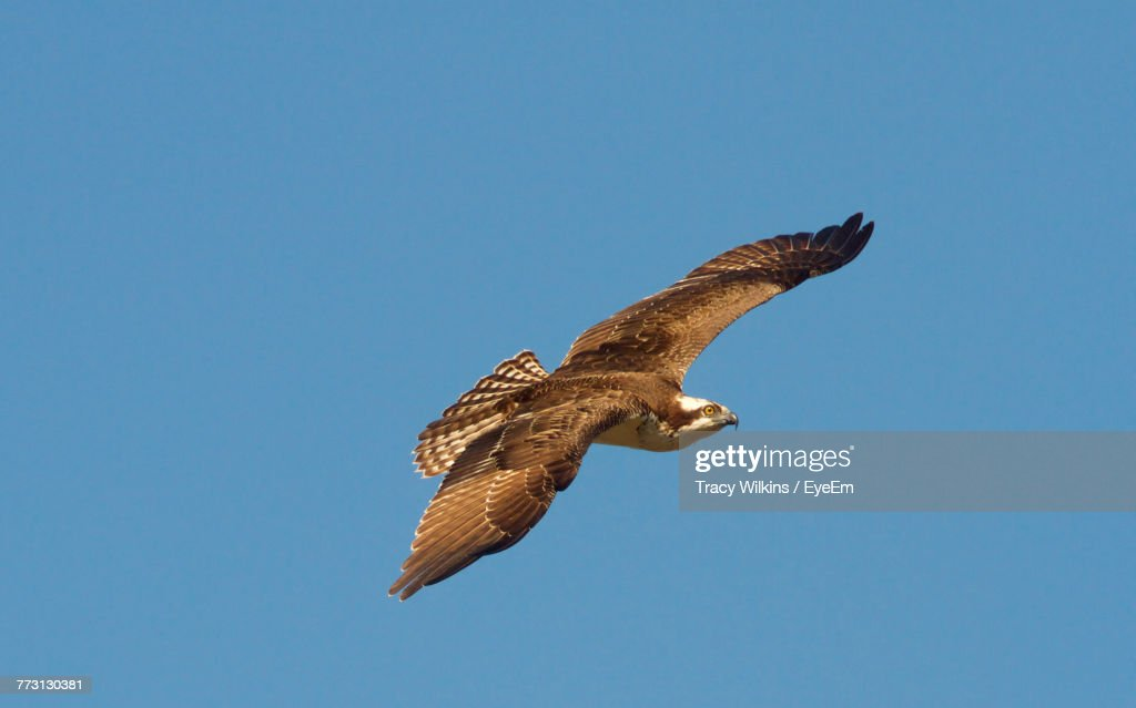 Low Angle View Of Eagle Flying Against Clear Blue Sky : Stock Photo