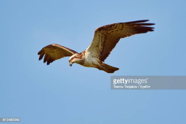 low angle view of eagle flying against clear blue sky - teemu tretjakov stock pictures, royalty-free photos & images