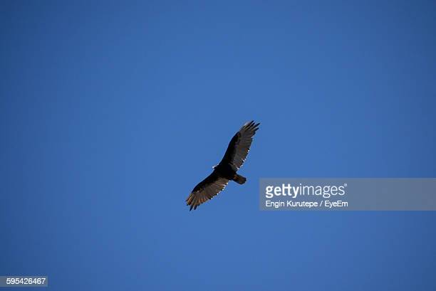 low angle view of eagle flying against clear sky - arizona bird stock pictures, royalty-free photos & images