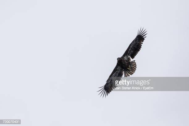 Low Angle View Of Eagle Flying Against Clear Sky