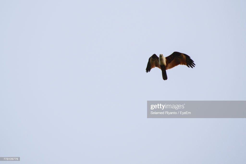 Low Angle View Of Eagle Flying Against Clear Sky : Photo