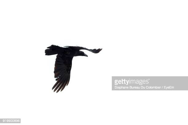 low angle view of eagle flying against clear sky - eagle bird stock photos and pictures