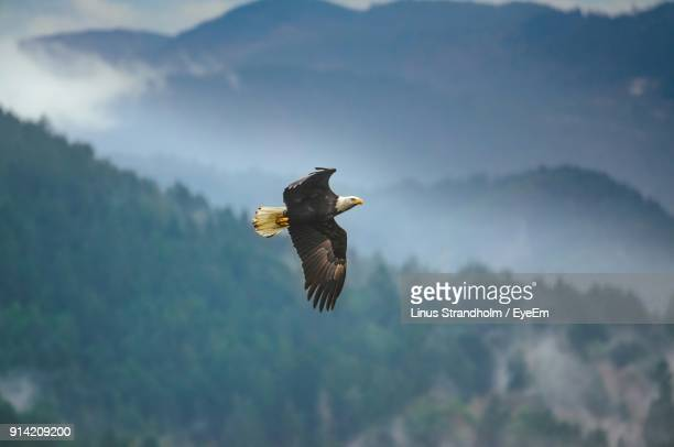 low angle view of eagle flying against mountains - eagle stock pictures, royalty-free photos & images
