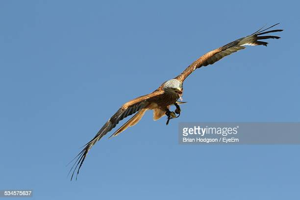 Low Angle View Of Eagle Flying In Mid-Air Against Clear Blue Sky