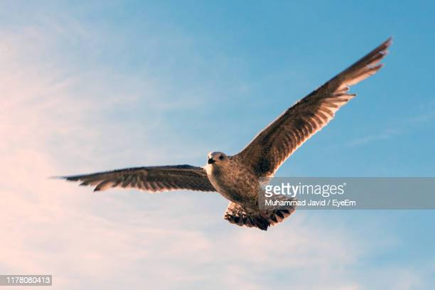 low angle view of eagle flying in sky - animal wing stock pictures, royalty-free photos & images