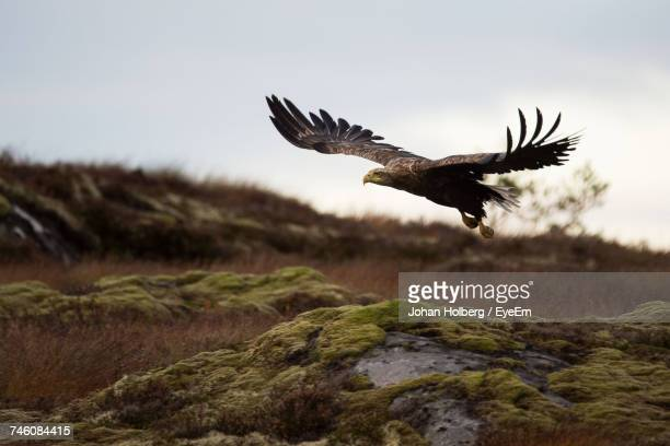 Low Angle View Of Eagle Flying Over Field Against Sky