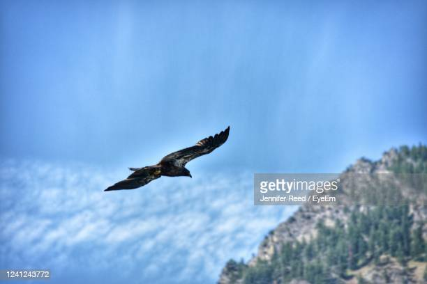 low angle view of eagle flying - jennifer reed stock pictures, royalty-free photos & images