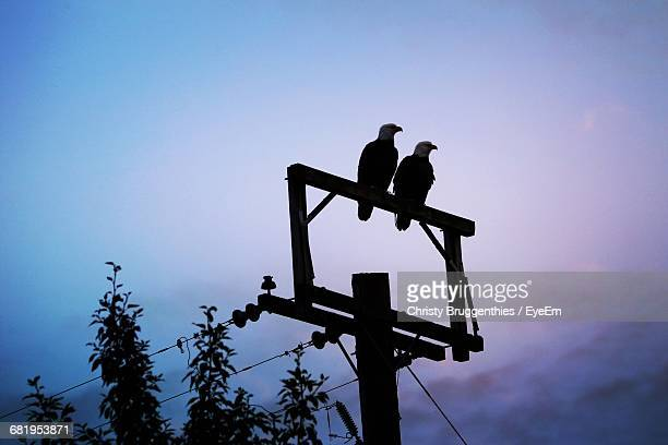 Low Angle View Of Eagles On Power Pole