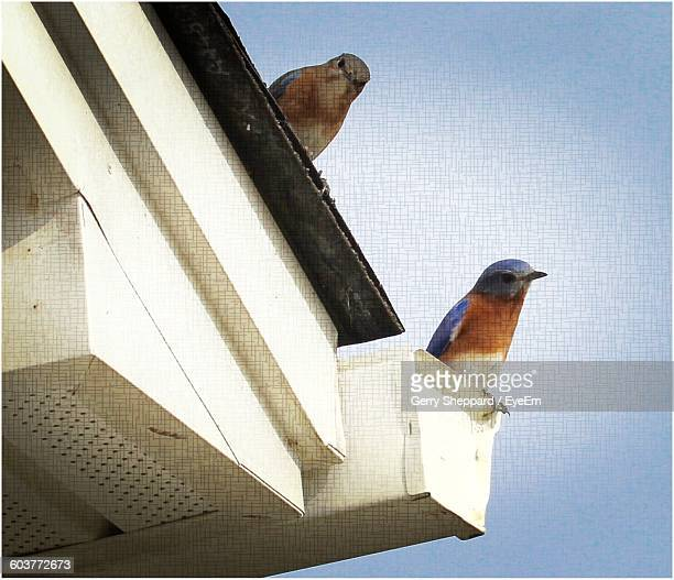 Low Angle View Of Eastern Bluebirds On Roof Against Sky