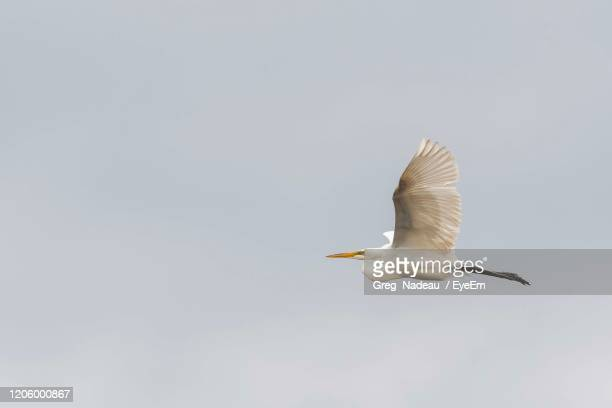 low angle view of egret  flying in sky - greg nadeau stock pictures, royalty-free photos & images