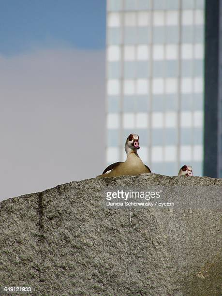 low angle view of egyptian geese on rock against modern building - modern rock stock pictures, royalty-free photos & images