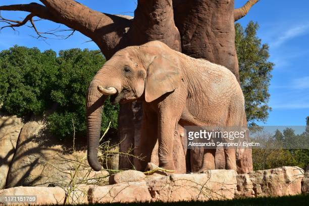 low angle view of elephant standing against trees - alessandro nasi foto e immagini stock