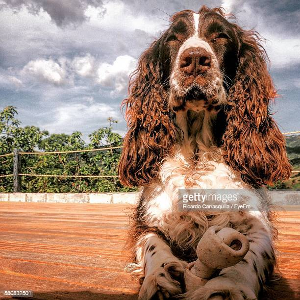 Low Angle View Of English Cocker Spaniel Dog Against Cloudy Sky