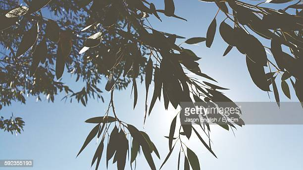 Low Angle View Of Eucalyptus Tree Growing Against Sky
