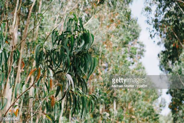 Low Angle View Of Eucalyptus Tree