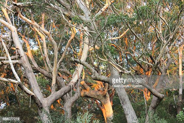 Low Angle View Of Eucalyptus Trees In Forest