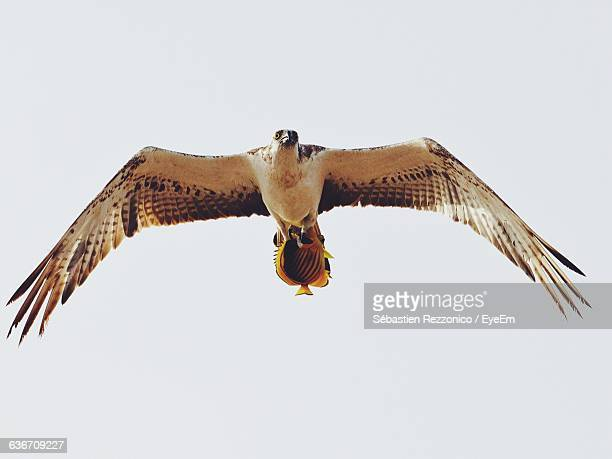 Low Angle View Of Falcon Against Clear Sky