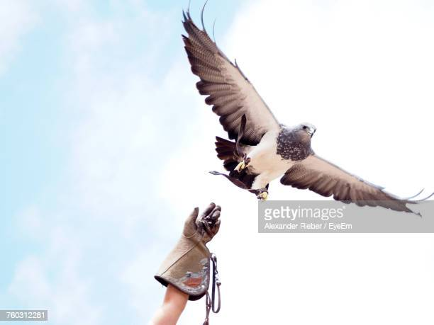Low Angle View Of Falcon Flying Against Sky