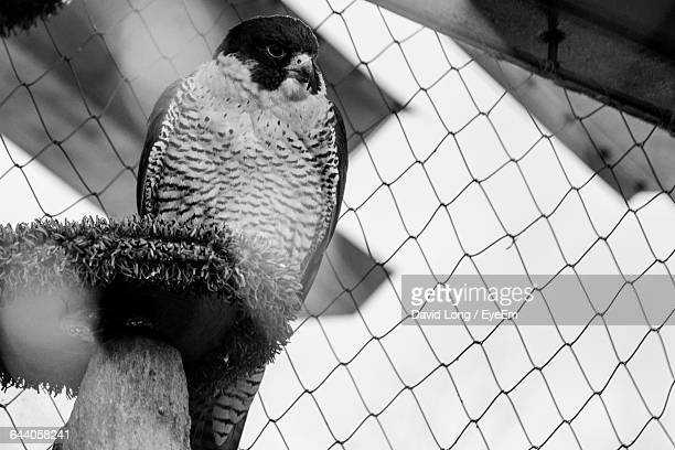 Low Angle View Of Falcon Perching On Wood Against Chainlink Fence