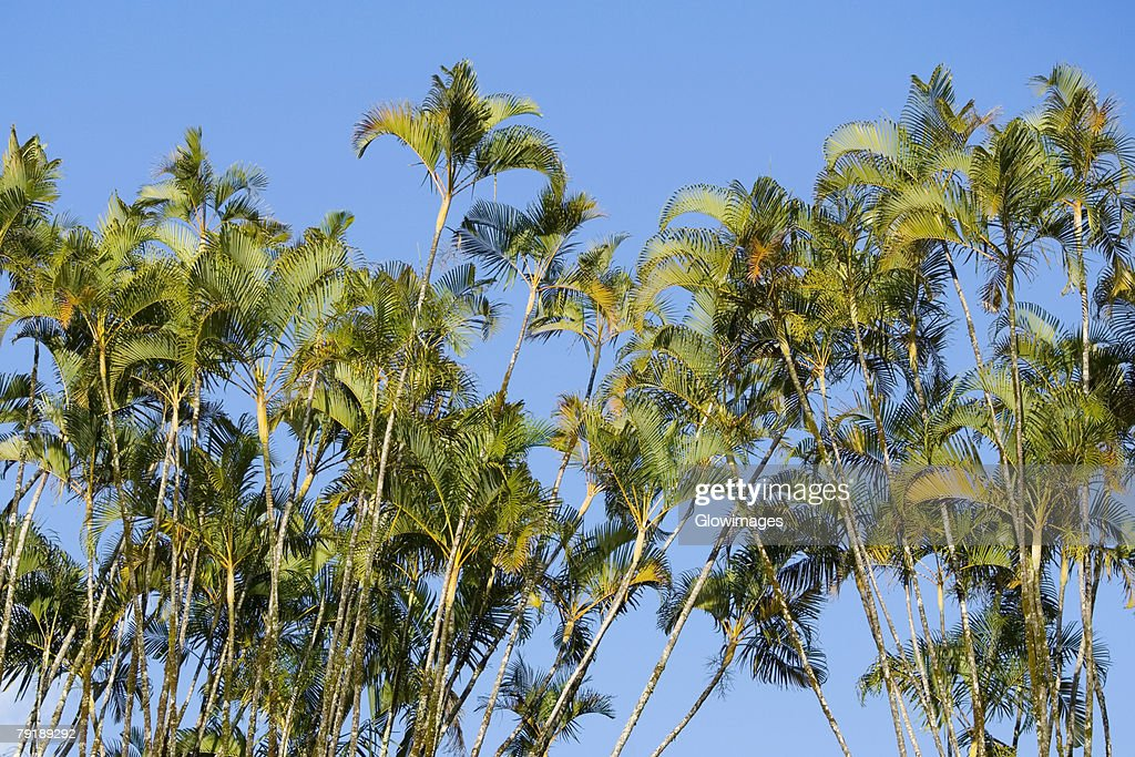Low angle view of ferns, Akaka Falls State Park, Hilo, Big Island, Hawaii Islands, USA : Foto de stock