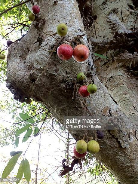 Low Angle View Of Figs Hanging On Tree