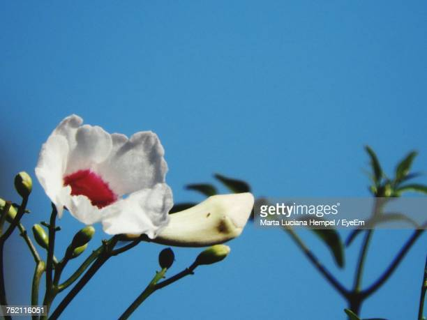 Low Angle View Of Flower Against Clear Blue Sky