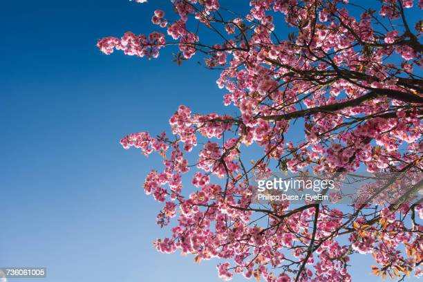 low angle view of flower tree against clear sky - apple blossom tree stock pictures, royalty-free photos & images