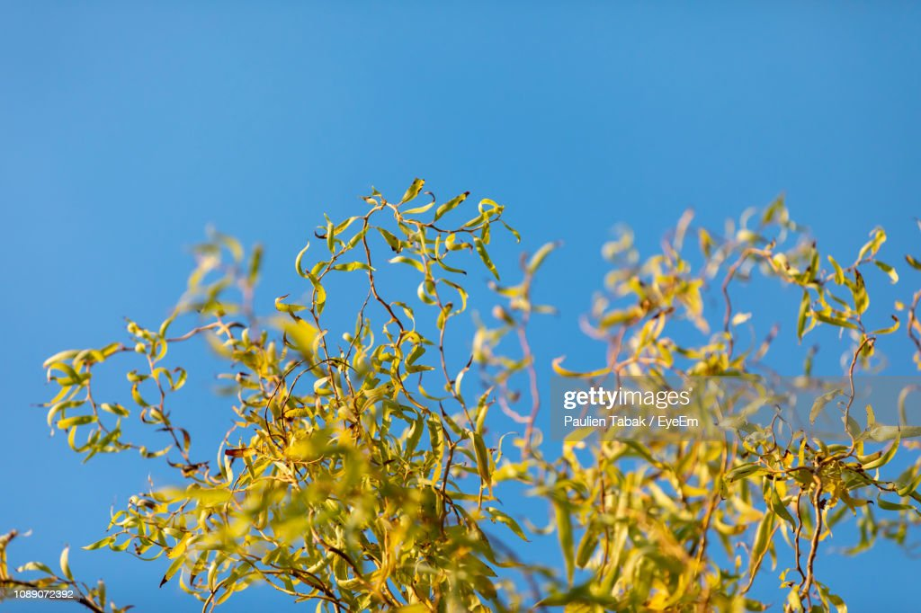 Low Angle View Of Flowering Plant Against Clear Blue Sky : Stockfoto