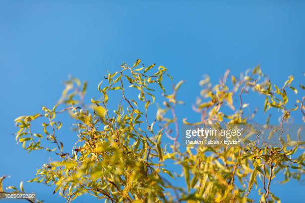 low angle view of flowering plant against clear blue sky - paulien tabak stock-fotos und bilder