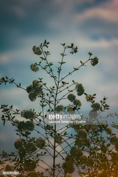 low angle view of flowering plant against cloudy sky - albrecht schlotter foto e immagini stock
