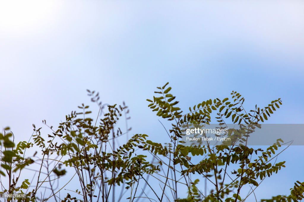 Low Angle View Of Flowering Plant Against Sky : Stockfoto