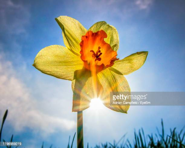 low angle view of flowering plant against sky - daffodil stock pictures, royalty-free photos & images