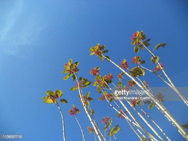 low angle view of flowering plants against clear blue sky - ismail khairdine stock photos and pictures