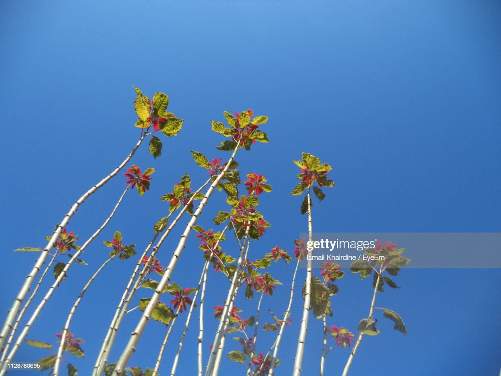 Low Angle View Of Flowering Plants Against Clear Blue Sky : Stock Photo