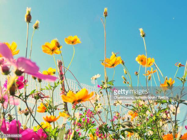 low angle view of flowering plants on field against sky - 花粉 ストックフォトと画像