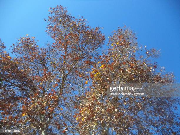 low angle view of flowering tree against blue sky - ismail khairdine stock photos and pictures