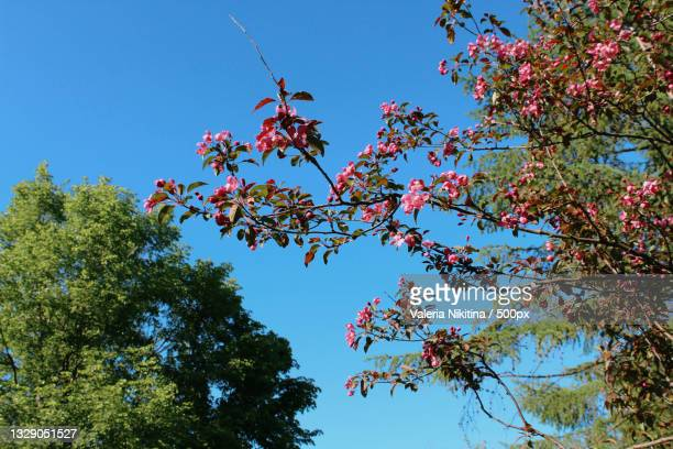 low angle view of flowering tree against clear blue sky,russia - nikitina stock pictures, royalty-free photos & images