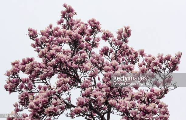 low angle view of flowering tree against clear sky - bunch of flowers stock pictures, royalty-free photos & images
