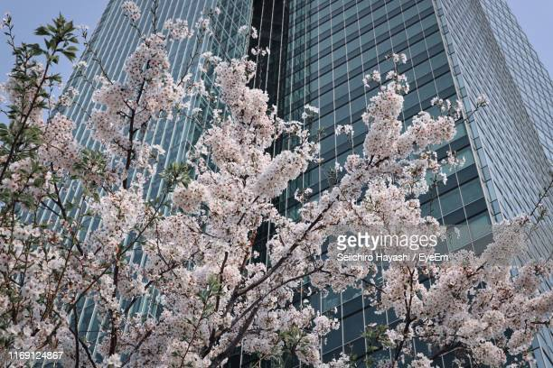 low angle view of flowering tree by buildings in city - seiichiro hayashi ストックフォトと画像